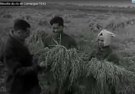 Récolte du riz en Camargue 1943 – Thu hoạch lúa ở Camargue năm1943